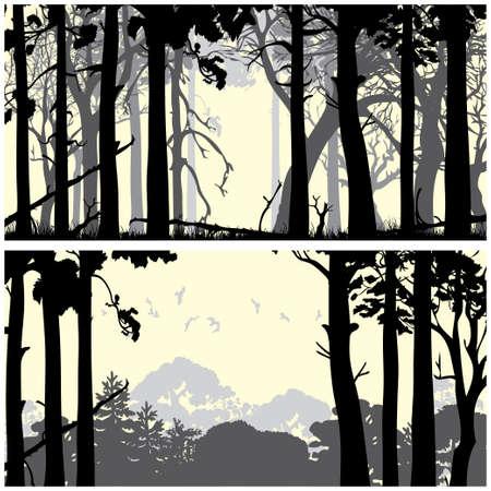 coniferous forest: Panorama de fondos forestales de coníferas silvestres establecido