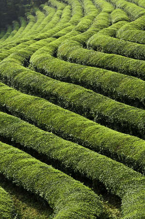 Rows of Green tea in a Field in Asia Stock Photo