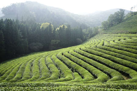 south korea: a green tea field sectioned into terraces on a farm in asia.