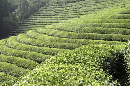 A green tea farm on a hillside in asia