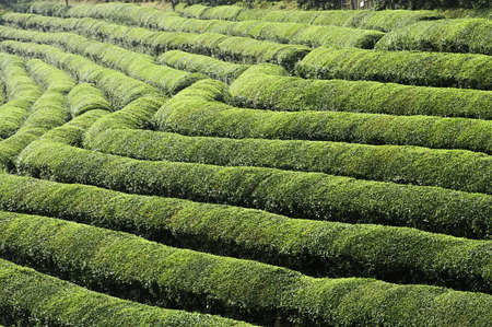 sectioned: A green tea field sectioned into terraces on a farm in asia.