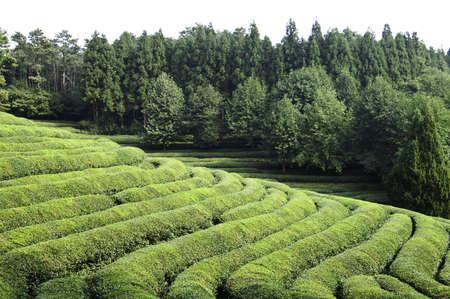 Rows of green tea on a hillside field in Korea