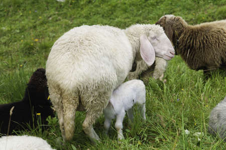 A small lamb feeds from her mother in a herd of sheep