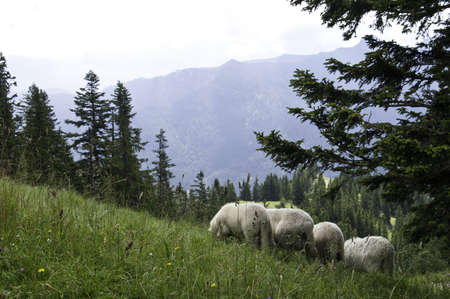 A small herd of sheep grazing in a pasture in the German Alps Stock Photo