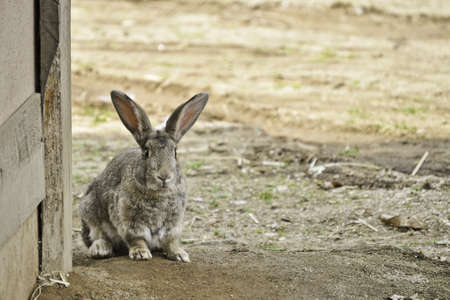 A lonely rabbit looking for food in an asian village