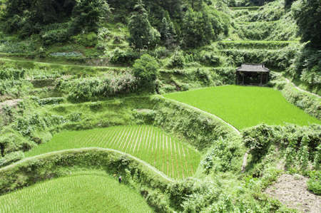 Chinese rice fields in the middle of the growing season photo