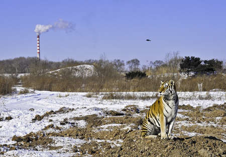 A tiger sits as a smokestack pollutes the air and his habitat is destroyed Editorial