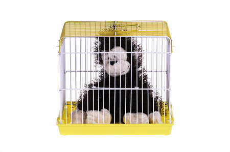 cage gorilla: A black monkey in the golden cage, it looks like feeling depressed