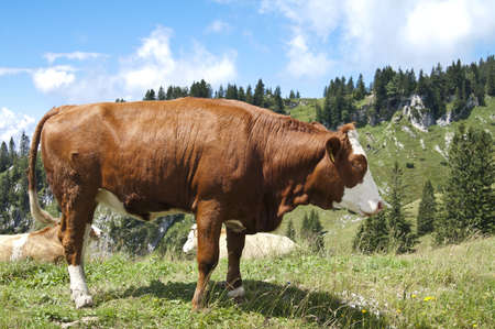 Large brown cow in pasture in the mountains Stock Photo