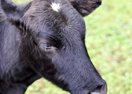 Closeup of Young black cow in Pasture