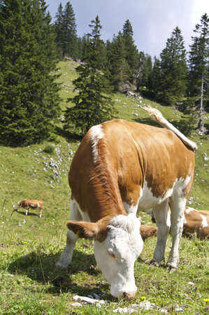 Large brown cow eating grass in a pasture in the mountains