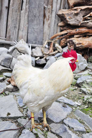 A white chicken tied up outside of a village home in rural China