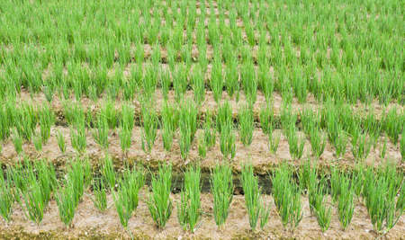 Rows of green chives in a large vegetable garden