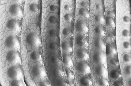 black and white abstract of green bean veins and pods