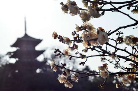 Spring Blossoms at a Temple in Japan