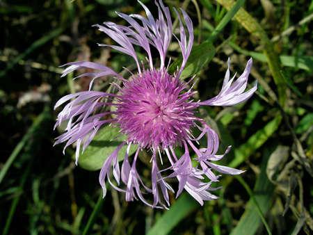 Lilac flower Stock fotó