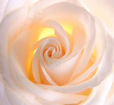 Beautiful rose Imagens