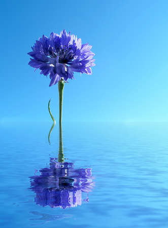 Blue cornflower reflected in water