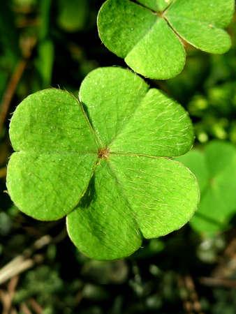 Green leafs of clover ( trefoil ).