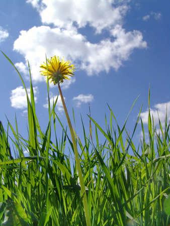 Flower dandelion on a background sky photo