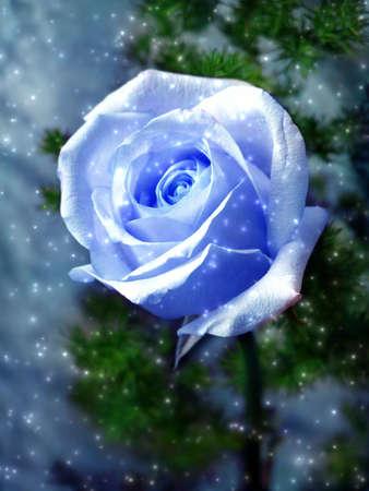 Snow blue rose