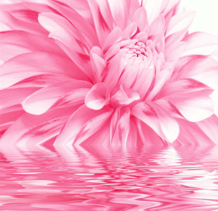 Rosy flower in water