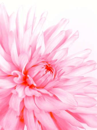 Rosy fine flower photo