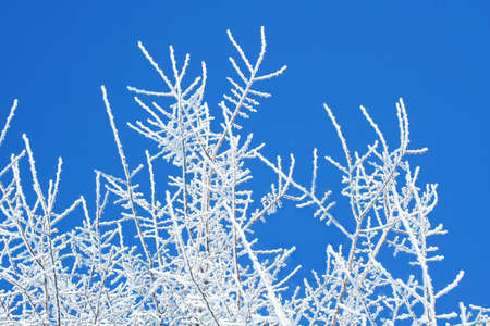 rime: Winter white trees on blue sky