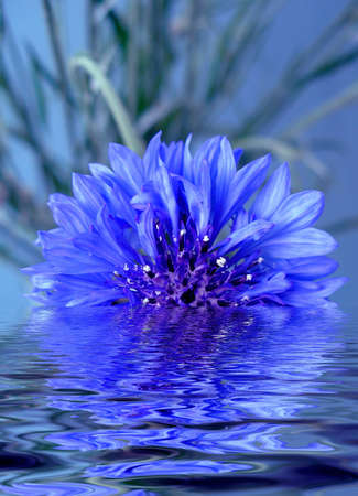 Blue cornflower in water Stock Photo - 941142