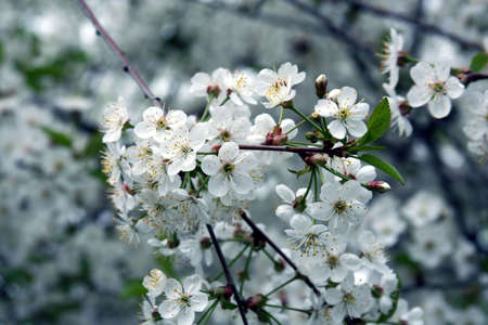 Spring. Blossoming cherry-tree  photo