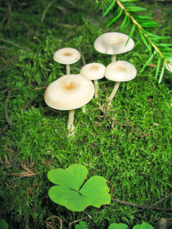 fairy toadstool: Mushrooms in forest