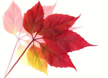 autumn path: Autumn leaf. XXXL size