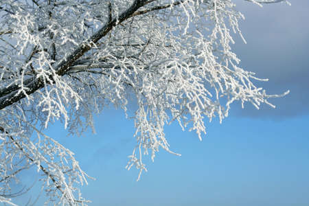 흰 서리: Winter  hoar-frost  and trees