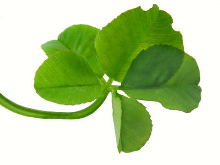 Clover of four leaves isolated on white background photo