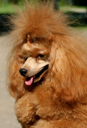 racy: Exhibition of thoroughbred dogs in June, 2008, Russia. Apricot poodle