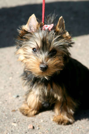 racy: Exhibition of thoroughbred dogs in June, 2008, Russia. Yorkshire terrier. puppy