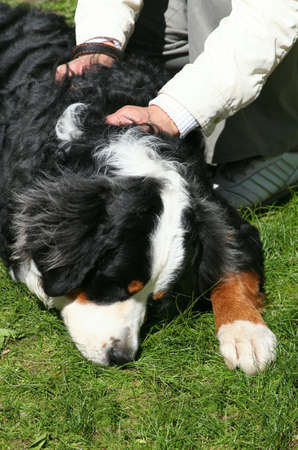 racy: Swiss Mountain dog Sennenhund. Exhibition of thoroughbred dogs in June, 2008, Russia. Stock Photo