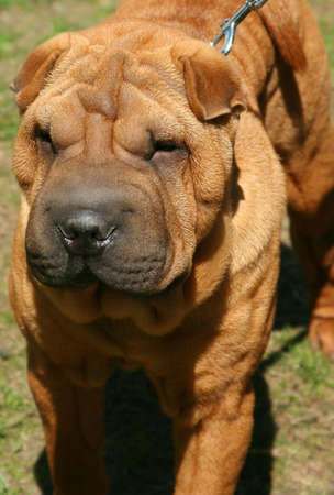 Sharpei. Exposici�n de perros de pura sangre en junio de 2008, Rusia.  Foto de archivo - 3245637
