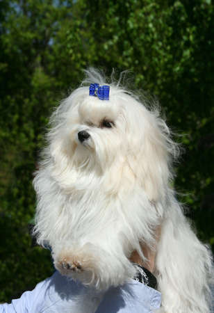 racy: The Maltese lap dog. Exhibition of thoroughbred dogs in June, 2008, Russia.