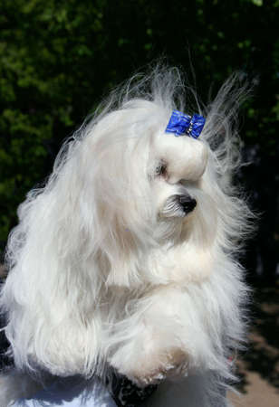 The Maltese lap dog. Exhibition of thoroughbred dogs in June, 2008, Russia. Stock Photo - 3245656