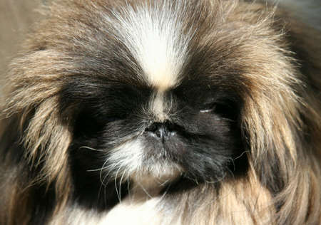 Exhibition of thoroughbred dogs in June, 2008, Russia. Pekinese Stock Photo - 3245846