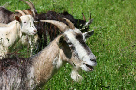 Summer country nature. Domestic goats Stock Photo - 3328738