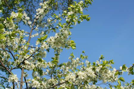 cherrytree: Spring. Blossoming cherry-tree  Stock Photo