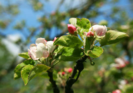 Spring. Blossoming apple-tree  Stock Photo - 4558929
