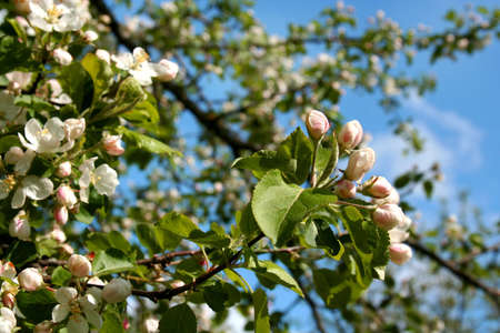 Spring. Blossoming apple-tree  photo