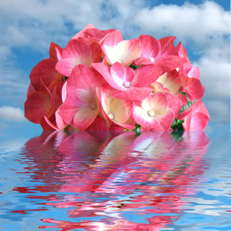 Blossoming flower Hydrangea in water photo