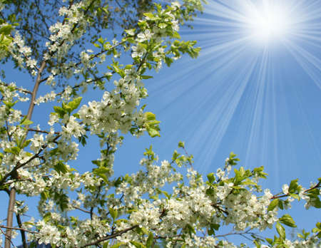 Blossoming tree in Spring season Stock Photo - 4594214