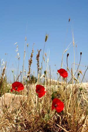 antyk: Starożytności greckie miasta - Efez. Kwiaty maku i błękitne niebo Zdjęcie Seryjne