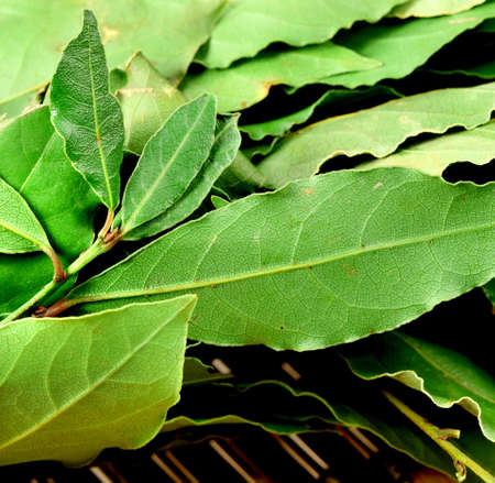 Aromatic green Bay leaves  ( laurel ) photo