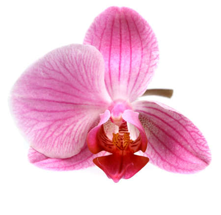 Flower pink orchid - phalaenopsis  isolated over white photo